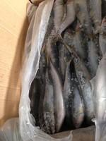 sardine fish scientific name from China