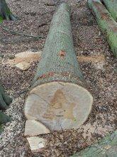 American Red Oak logs