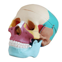 Medical teaching Colored Skull 3D Model