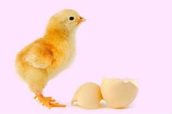how to tell if chicken eggs are fertilized