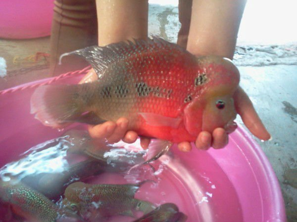 Red flower horn fish buy freshwater fish product on for Flower horn fish price