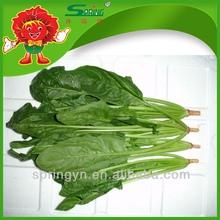 China supplier Bulk fresh spinach brands