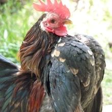 Malaysian Serama chicken for sale