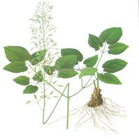 Yin yang huo Factory Supply Free Sample 100% Dried Epimedium Herb