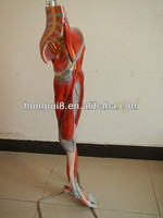 ISO Deluxe Anatomical Model of Leg Muscles, Lower Limb Muscle Model