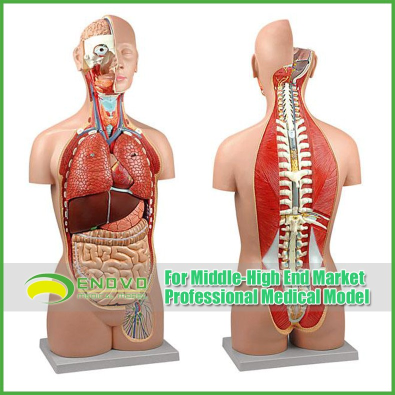 Teaching Models Plastic Human Torso Anatomy With Removable Organs ...