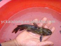 live yellow catfish
