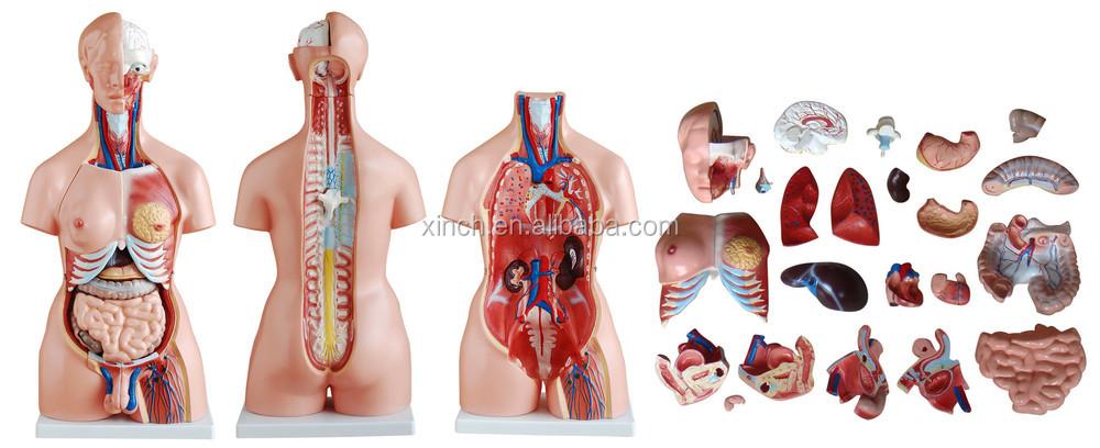 85 CM Torso Unisex Anatomia Humana Modelo Com 23 Peças