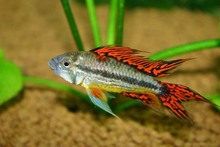 TROPICAL FISH COCKATOO DWARF DOUBLE RED CICHLID