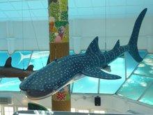 Life-size FRP Whale Shark