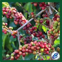 Green Coffee Beans wholesale