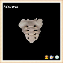 hueso sacro de modelo de cuerpo humano