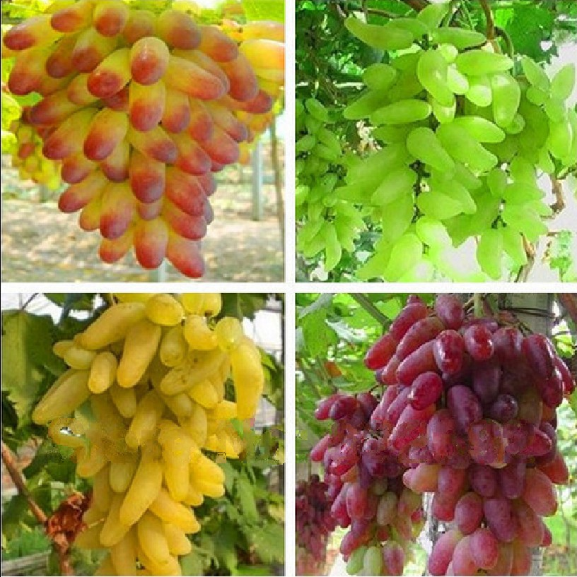 beautijiam Seeds 50Pcs Mixed Grapes Seeds Delicious Fresh Fruit Tree Plants for Indoor Outdoor Home Balcony Garden Yard Farm Planting