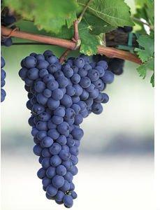 olio di semi di uva biologica