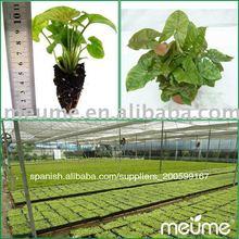 La cultura del tejido plantas jóvenes( granja para la venta)