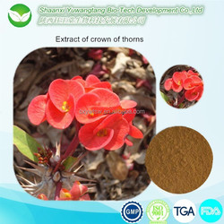 crown of thorns/crown of thorns extract/high quality flower extract of crown of thorns