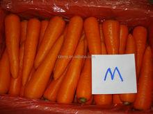 Export fresh carrot for carrot importer