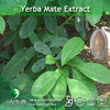 Yerba Mate Extract powder(25%Polyphenol) in hot selling