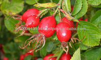 India's No.1 Manufacturer of Pure Rose Hip Seed Oil