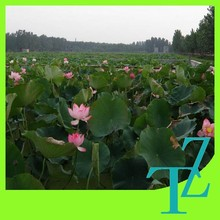 white black plastic agricultural membrane for lotus root plant