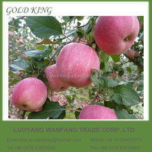 Wholesale Prices Fresh Apple Fruit for Export