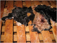 Wet salted cow skin, cow heads and animal skins,wet blue cow hides