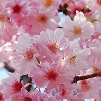 Ying hua zhong zi outdoor plant sakura seed with white flower seed for cherry