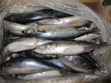 Frozen mackerel prices frozen mackerel bait mackerel