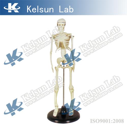 50100.02A Esqueleto Humano