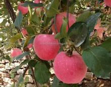 Fresh Red Sweet Fuji Apples