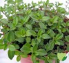 natural thyme extract