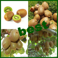 from china best quality fresh kiwi fruit with best wholesale price