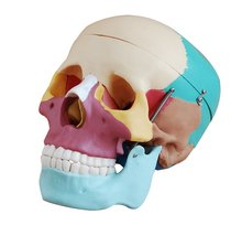 La vida - el tamaño del cráneo con los huesos de color