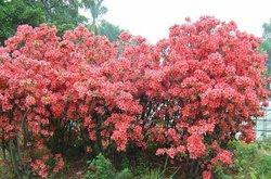 Dahurian Rhodoendron Leaf Extract 4:1,50%-70%Proanthocyanidins (UV-VIS) whitening moisture remove black spot