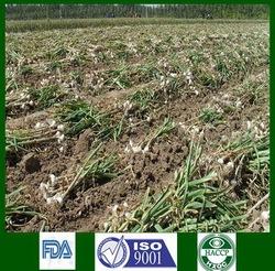 High Quality 2015 Organic Garlic Exporter