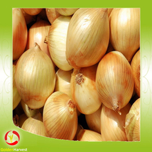 Fresh new crop onion red/white/yellow onion from china