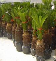 Outdoor Landscaping Trees Cycas Revoluta Cycas Seeds