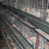 Professional automatic chicken broiler house design