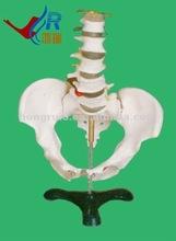 HR-115 Basic Lumbar with Pelvic Skeleton,Teaching Female Pelvis Model