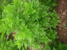 BV manufacturer supply natural artemisinin plant extract