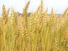 Milling wheat