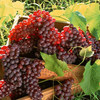 fresh grape fresh grape fresh grape in Yunnan