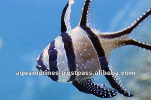 Bangai cardenal de los pescados del acuario de peces for Acuarios para peces marinos