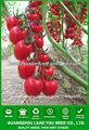 Alta producción de semillas de tomate cherry f1 híbrido FT131 Shanks