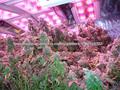 luzes led para o cultivo de maconha