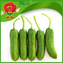 Manufacturing Cucumber mini cucumber