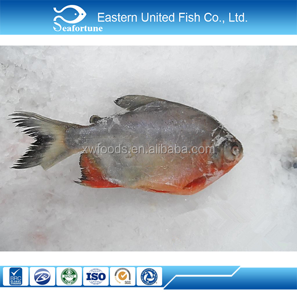 Hot sale export pomfret pacu fish 90 nw on sale buy for Pacu fish for sale