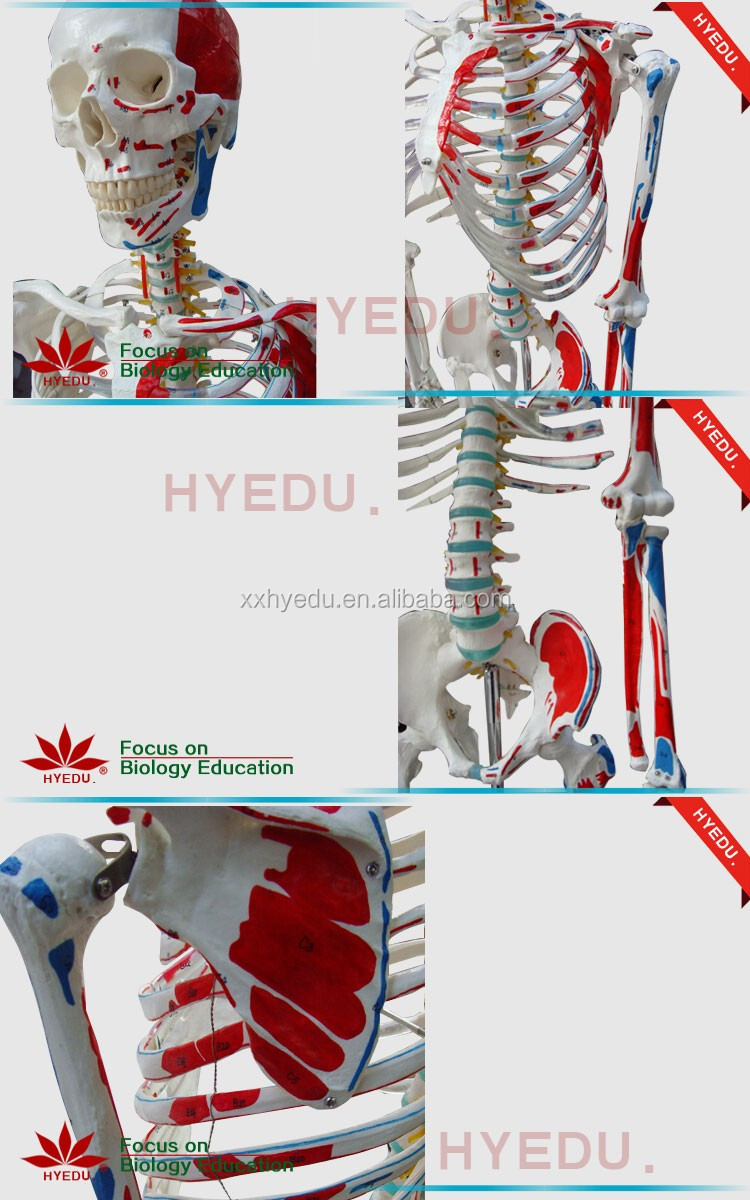 Human skeleton model with colored muscle (5)