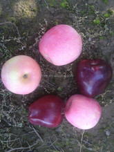 Fresh apple for Huaniu.Fuji and Qingguang apple