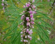 nature Leonurine 98% herba leonuri extract /Motherwort extract, Stachydrine hydrochloride